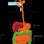 Come avviene la digestione