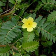 Fiore di tribulus terrestris