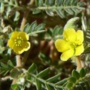 Tribulus terrestris fiorito