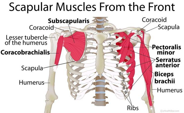 Muscolatura articolazione spalla