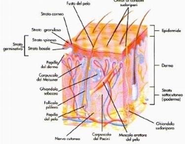 tre tessuti della pelle