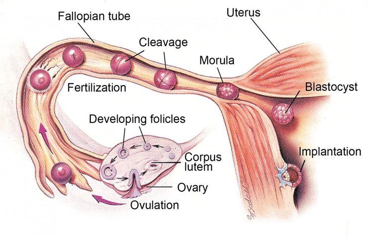 Meccanismo dell'ovogenesi femminile