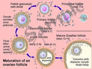 Maturazione del follicolo ovarico