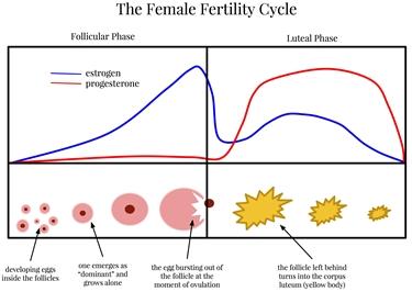 Il ciclo della fertilità femminile