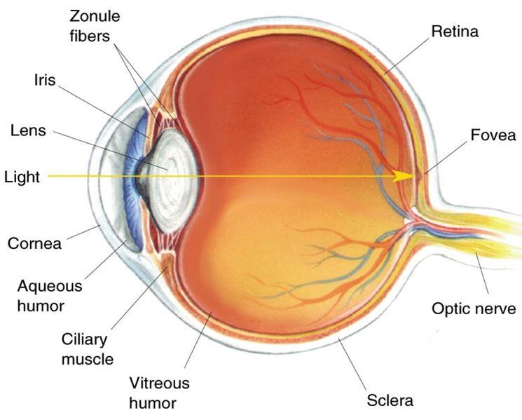 Cristallino anatomia occhio