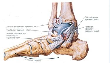 caviglia struttura