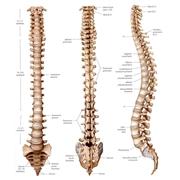 Visione della colonna vertebrale