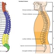 La struttura della colonna vertebrale