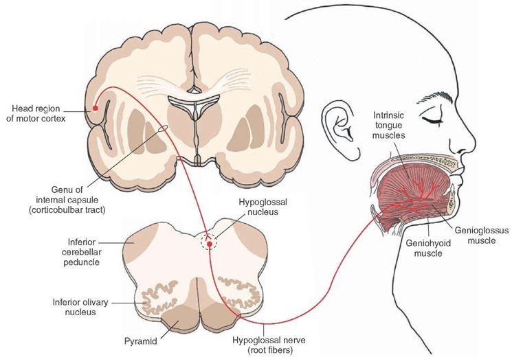 Innervazioni nervose capo