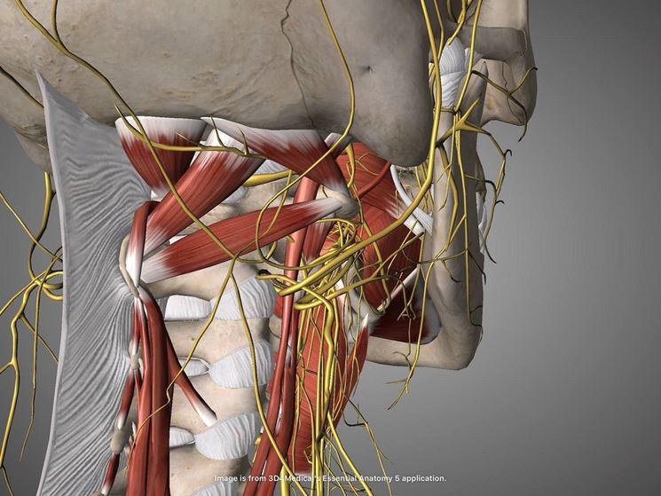 Immagine rachide cervicale