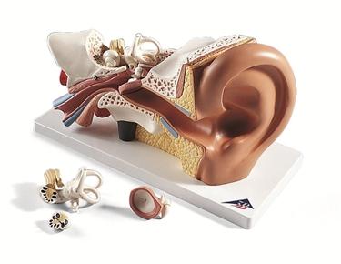 Modello anatomico dell'orecchio