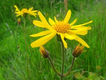 arnica fiore