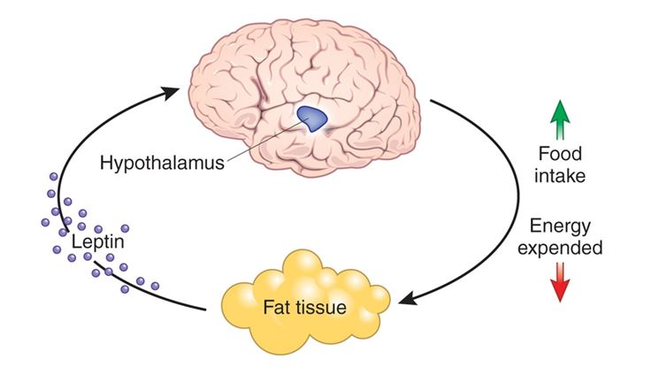La leptina regola l'appetito