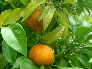 Frutti di citrus aurantium