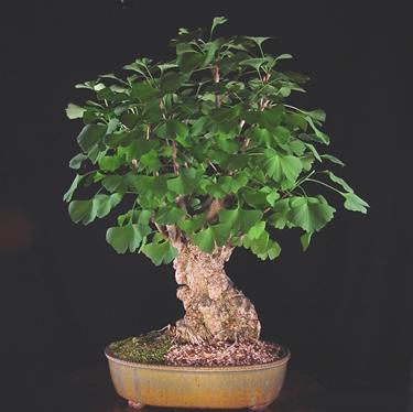 bonsai di ginkgo biloba