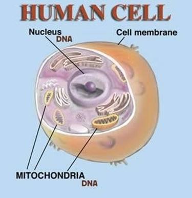 struttura cellula dell'uomo