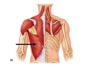Il muscolo gran dorsale