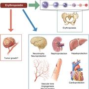 Come agisce l'eritropoietina