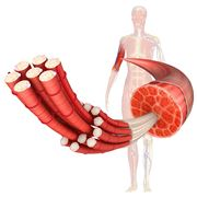 Muscolo di un braccio umano