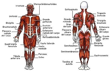 Muscoli corpo<p />