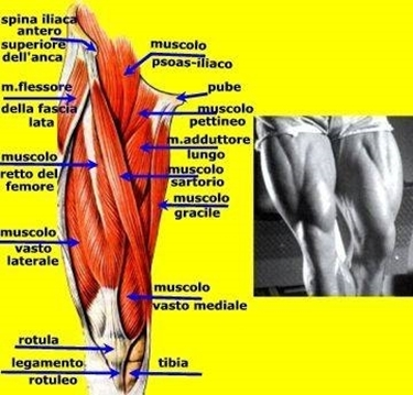 Muscoli coscia