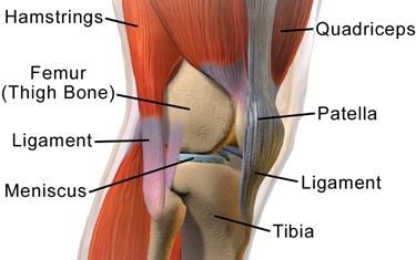 muscoli e articolazioni ginocchio