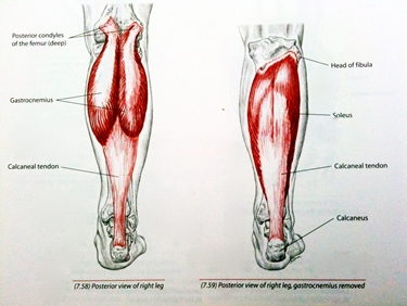 Anatomia tricipite surale<p />