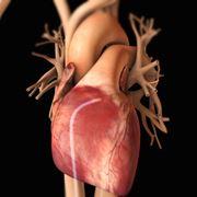 Il cuore con le principali vene e arterie