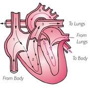 La circolazione del sangue all'interno del cuore
