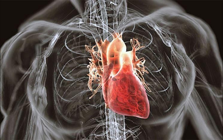 L'organo cardiaco