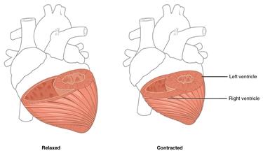 Spessore del miocardio dei ventricoli