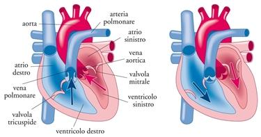 Struttura del cuore