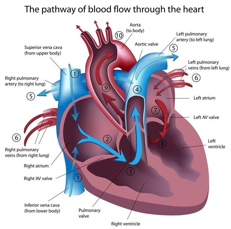 Flusso sanguigno nel cuore