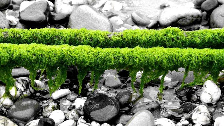 Alghe essiccate