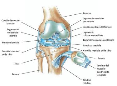 Anatomia del ginocchio normale