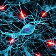 Dettaglio del sistema nervoso