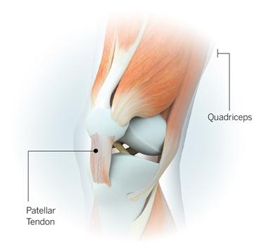 Anatomia del tendine rotuleo