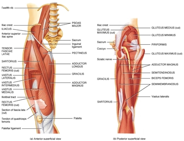 Muscoli e tendini della gamba