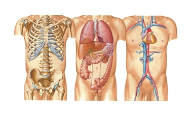 Diversi organi del torace