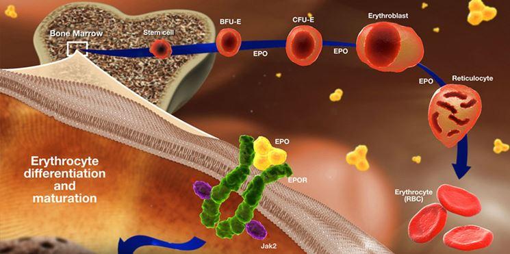 Meccanismo di formazione delle cellule sanguigne