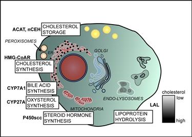 Distribuzione cellulare del colesterolo